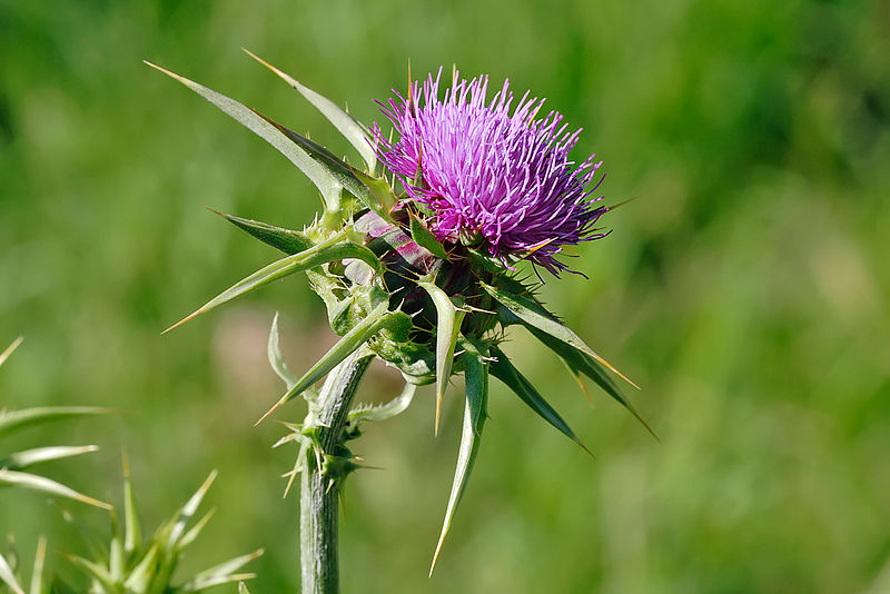 Milk Thistle May Prevent Photo-Aging And Skin Cancer